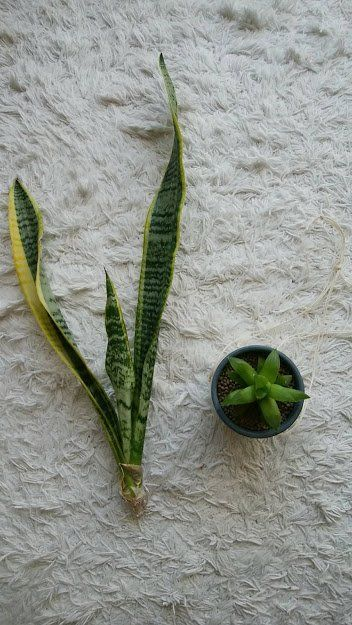 Sansebelia