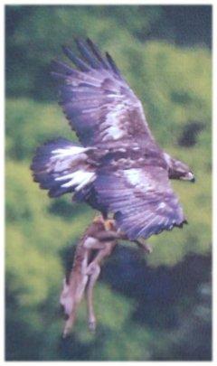 Eagledear